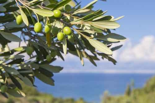 Azeitonas e suas variedades